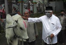 olly dondokambey serahkan sapi kurban bagi umat muslim